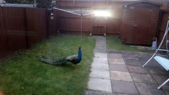 'Percy' the peacock as spotted by Kate Reynolds in her back garden this morning. Estover, Plymouth. April 9 2019..See SWNS story SWBRpeacock. Residents of a small village say have been terrorised by this angry escaped - PEACOCK.One woman described how she was 'charged at' by the massive bird as she tried to capture it.The majestic runaway bird - nicknamed Percy - was later spotted in a nearby back garden and is thought to still be at large.Tonie Coe said: ?He is very fast and very clever - he charged at me and flew over me which caused me to nearly slip. It could have been on You've Been Framed.?