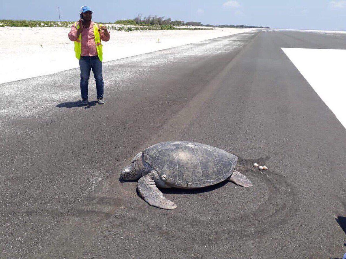 Endangered turtle goes to lay eggs but airport runway is built on beach