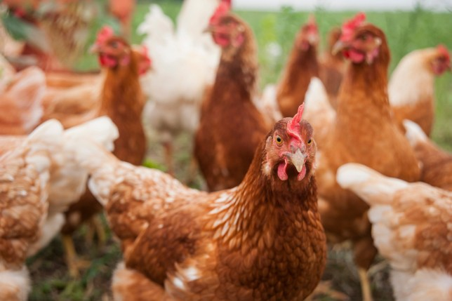Genetically-modified chickens can act as 'surrogates' for other poultry breeds