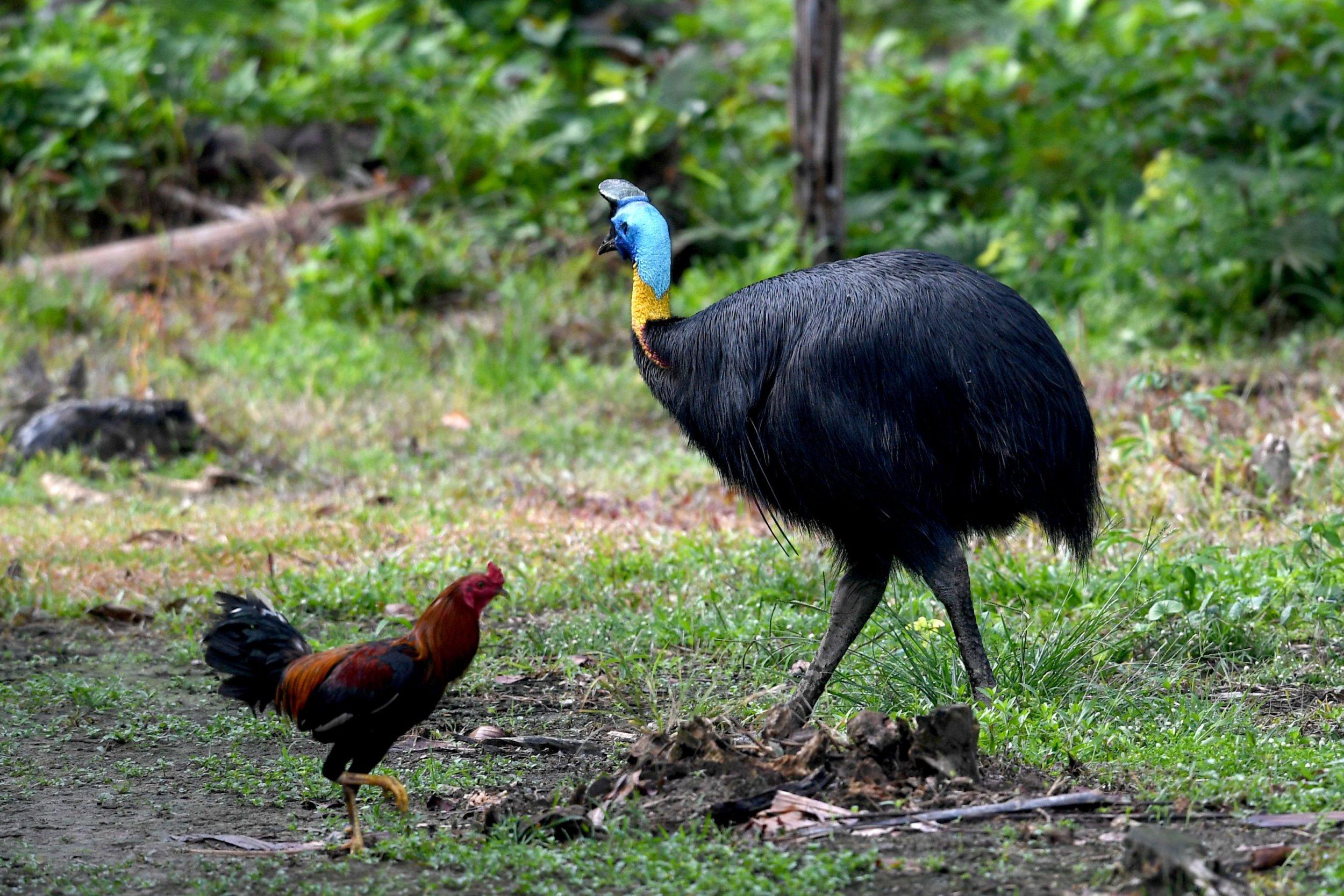 'World's deadliest bird' kills its owner after attacking him when he fell