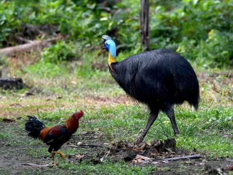 'World's deadliest bird' kills its owner after attacking him when he fell