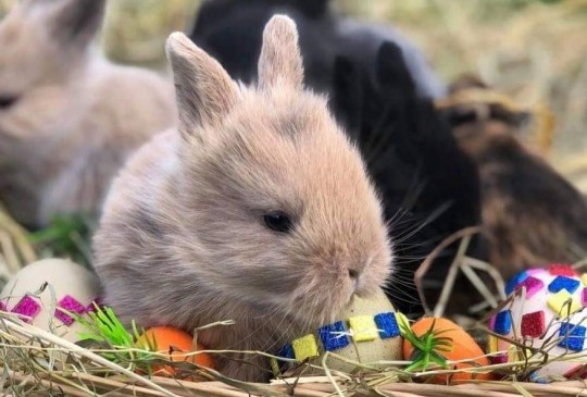 METRO GRAB - Stolen bunny From @AnimalFarmAdventurePark/Facebook https://www.facebook.com/AnimalFarmAdventurePark/photos/a.144397835622277/2245219828873390/?type=3&theater