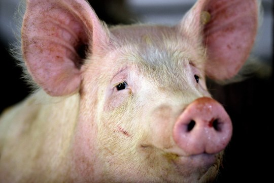The head of a pig living on a farm looking like it is smiling.