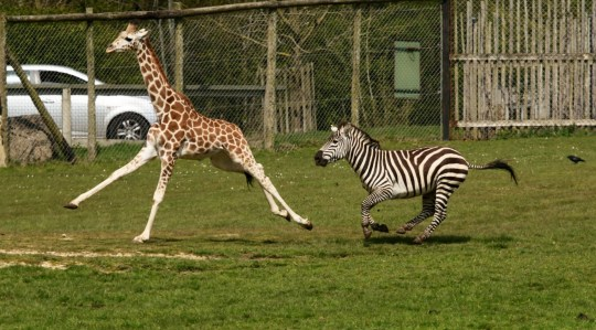 Giraffe and zebra race to see who's the fastest | Metro News