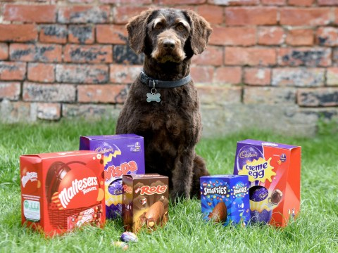 A naughty dog was rushed to the vets after he sneakily ate seven Easter eggs