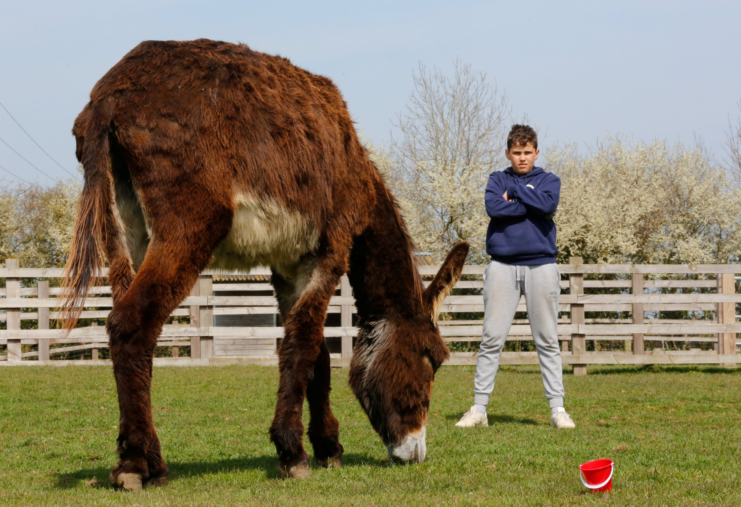 Tyler Allen-Day, 12, with giant donkey, Derrick