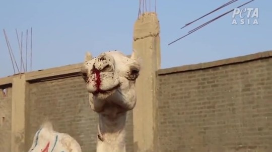 or Immediate Release: 15 April 2019 Contact: Sascha Camilli +44 (0) 20 7923 6433; SaschaC@peta.org.uk VIDEO: HORSES WHIPPED, CAMELS BEATEN BLOODY FOR EGYPT???S TOURISM INDUSTRY PETA Calls For Animal Ban at Tourist Sites Following Revelations That Weak, Wounded Animals Were Forced to Carry Tourists in the Hot Sun London ??? A new PETA Asia investigation of the top tourism destinations in Egypt ??? including the Great Pyramid of Giza, Saqqara, and Luxor ??? has revealed horrific abuse of horses and camels forced to haul visitors on their backs or in carriages in blistering heat without shade, food, or water. Eyewitnesses also documented that camels were beaten at the Birqash Camel Market before being sold to the tourism industry. In response, PETA is calling for a ban on the use of working animals at tourist sites in the country. Video footage shows handlers in Giza violently beating a horse who???d collapsed on her side while being forced to pull a carriage. She was severely injured by her fall, but they continued to beat her until she got back up. Many horses used for rides in Giza and Luxor had painful, bloody wounds and were forced to wait in the scorching sun for the next paying customer ??? without food, water, or access to shade. Emaciated horses whose ribs showed through their skin were repeatedly yanked and whipped. And at the notorious Birqash Camel Market, men and children were observed viciously beating screaming camels with sticks. Many of the animals??? faces were bloody, and one camel foamed at the mouth. ???It???s disgraceful that exhausted, emaciated animals in Egypt are beaten and whipped into giving endless rides in the heat, even as their legs buckle and they collapse,??? says PETA Director Elisa Allen. ???PETA is calling on the Egyptian Ministry of Tourism to replace these abused animals with modern vehicles such as electric rickshaws so that tourists can appreciate the country???s rich history without supporting cruelty to