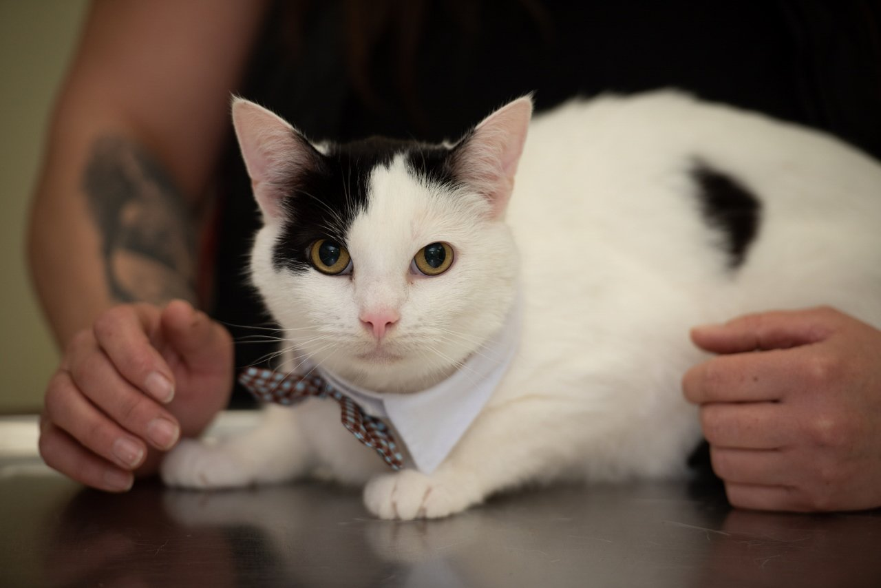 """MEN MediaA cat with a bladder problem has made a miraculous recovery after undergoing radical """"gender reassignment"""" surgery. Six-year-old Piglet was facing being put to sleep, but thanks to the skill of vet Sarah Bruce at Charter Vets in Congleton, his life has been saved using a rare procedure to remove part of his genitals which allows him to urinate """"like a female."""" The surgery was performed after a bladder stone was preventing Piglet from being able to pass water."""