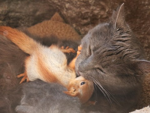 Cat adopts four orphaned squirrels