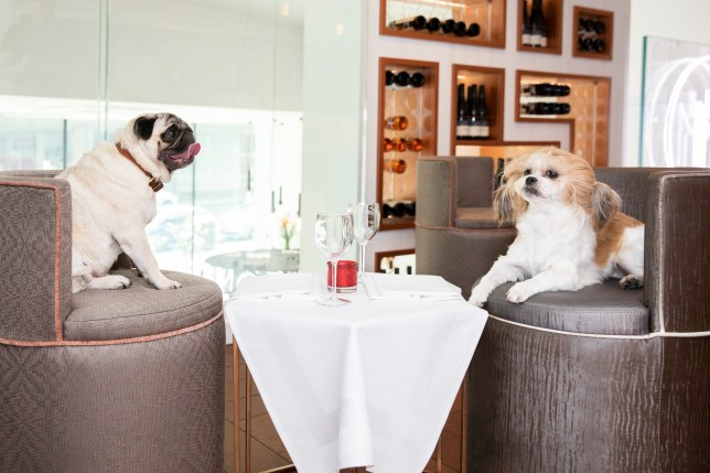 Two dogs enjoy each others company at a restuarant. A study of 2,000 dog owners has found that they have each met an average of four people while taking their dog for a walk or attending puppy training classes. See SWNS story SWBRdogs. Having a dog is good for your social life ??? as almost half of owners have made friends while on their ???walkies???. A study of 2,000 dog owners found they have met an average of four new people though their pet while out for walks or at puppy training classes. Similarly, this has led to the dogs themselves having a vast social life too, with 60 per cent of owners believing their pet has ???dog friends???. In fact, the average pooch is considered to have three friends, with more than one quarter even having a ???walking buddy???, often going out with the same canine and owner. And eight in 10 believe it is ???important??? for dogs to have friends, which they regularly see.