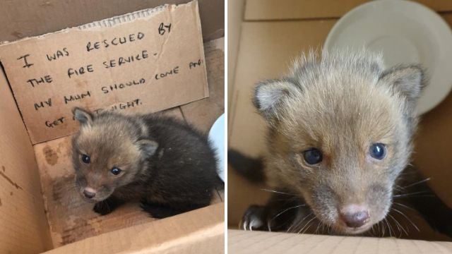 Firefighters rescue baby fox stuck inside a wall then call it Ian