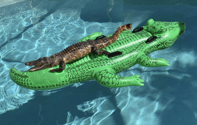 David Jacobs was shocked to see this alligator sunning itself on top of an alligator-shaped pool float at a weekend rental in Florida Sunday