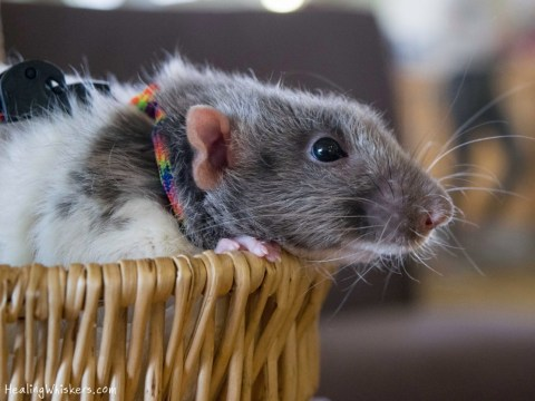 Vincent the therapy rat travels to schools and libraries to help children learn to read