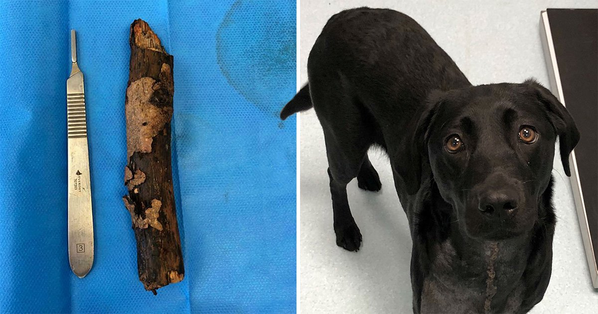 Labrador puppy Corona had to be operated on after a stick she swallowed punctured her oesophagus