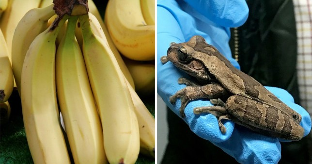 A tree frog from Costa Rica has been found in a box of bananas at a Lidl