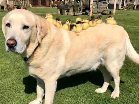 Labrador who took in nine orphaned ducklings adopts six more and our hearts are melting
