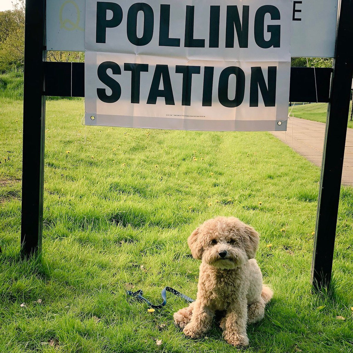METRO GRAB TWITTER Dogs at Polling Stations, UK elections https://twitter.com/poodlemixworld/status/1123844783099842560