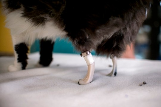 This picture taken on January 26, 2017 in Sofia shows one-year-old Pooh in her new bionic back paws. Two Bulgarian cats who lost their hind legs in accidents are being given new bionic paws in what vets say is the first such operation in Europe outside ground-breaking Britain. But that is not all there is to it, the stray fluffies are also looking to find homes. / AFP / NIKOLAY DOYCHINOV (Photo credit should read NIKOLAY DOYCHINOV/AFP/Getty Images)