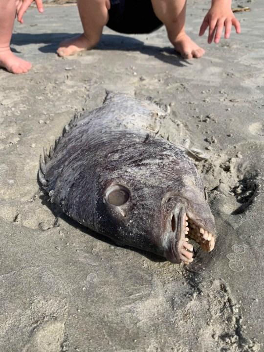 Ikan Aneh dan Mengerikan Memiliki Mulut Bergigi Layaknya Manusia