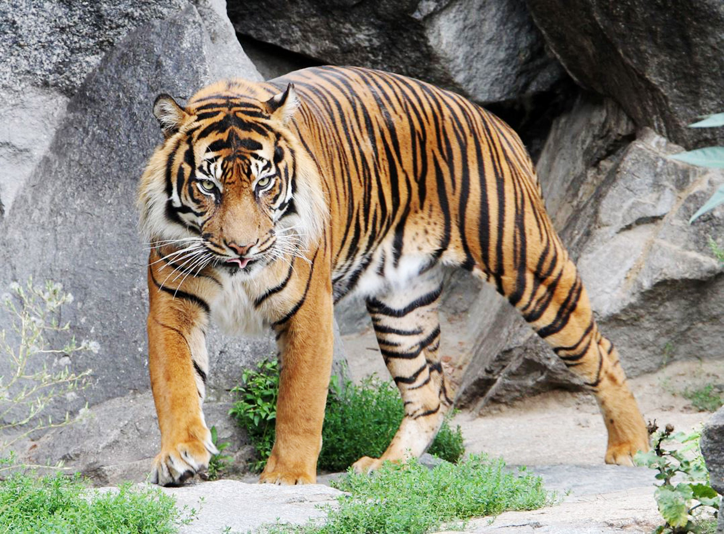 'World's oldest' captive male Sumatran tiger dies at Edinburgh Zoo