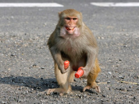 Rampaging monkey kills man and injures 9 others in Indian town