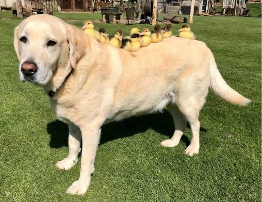 Fred the lab with his ducklings