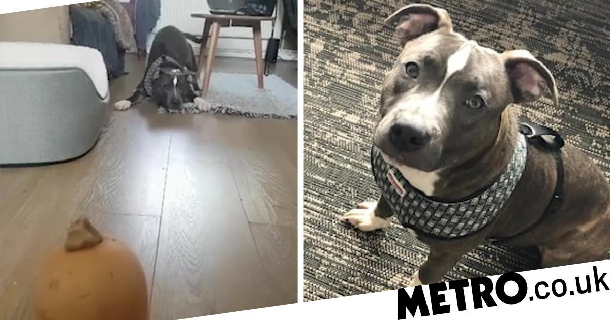This poor little Staffie is absolutely terrified of butternut squash