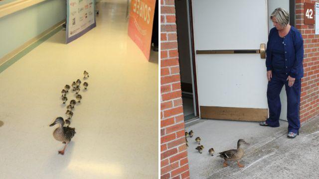 Duck brings her newborn ducklings to see nursing home residents each spring