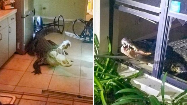 This gigantic alligator broke into a Florida apartment in the early hours of Friday by smashing a window, before breaking a table and helping itself to some of the owner's wine