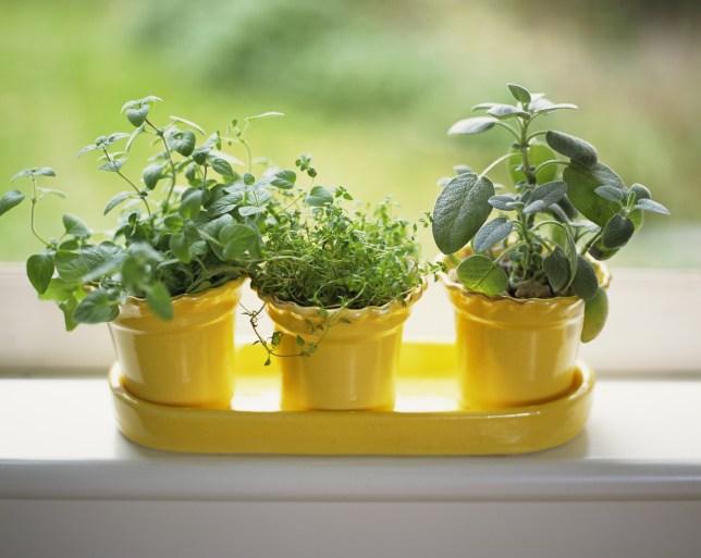 Three herb pots on a windowsill