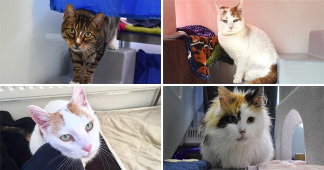 A compilation of four images of elderly cats waiting to be adopted from Battersea Dogs and Cats Home