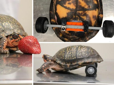 Turtle missing back legs gets Lego wheelchair