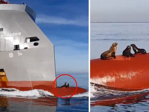 Lazy seals filmed hitching a ride on bow of huge ship