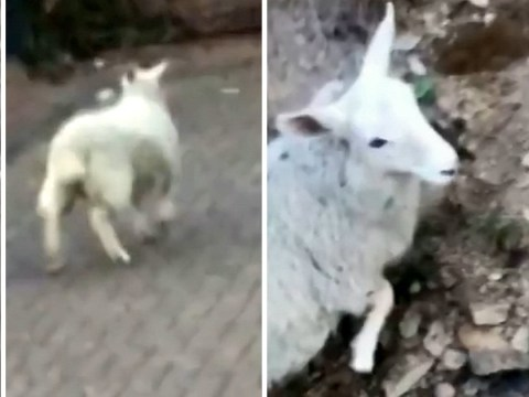 Man who filmed himself stealing sheep had animal porn on his phone