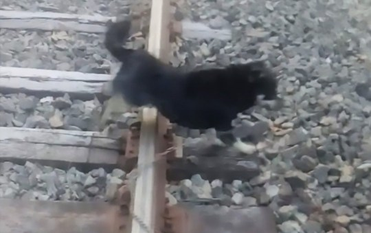 A dog tied to railway tracks in Llay-Llay, Chile which was saved just in time by a quick thinking train driver.