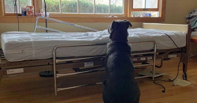 "Dog waits by owner's bed. Moose sat patiently next to his dad's hospital bed, waiting for him to return, not knowing that ?Dad"" had passed away. Moose has now been returned to our friends at Eleventh Hour Rescue and he's taking the loss of his dad pretty hard. Please help Moose find a new home and a family for him to love."