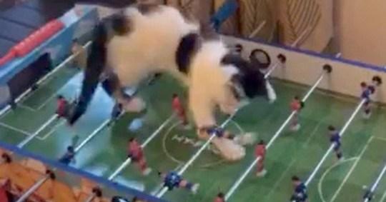 Oreo the cat who like to play table football