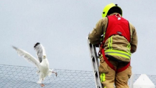 Seagull in a panic after getting foot trapped in superstore's 'death net'