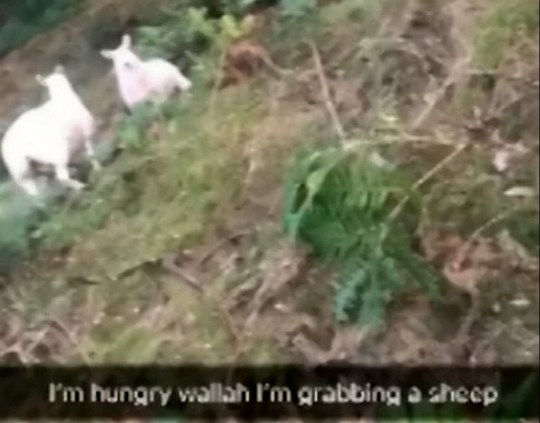 Man who filmed himself stealing sheep had animal porn on his ...