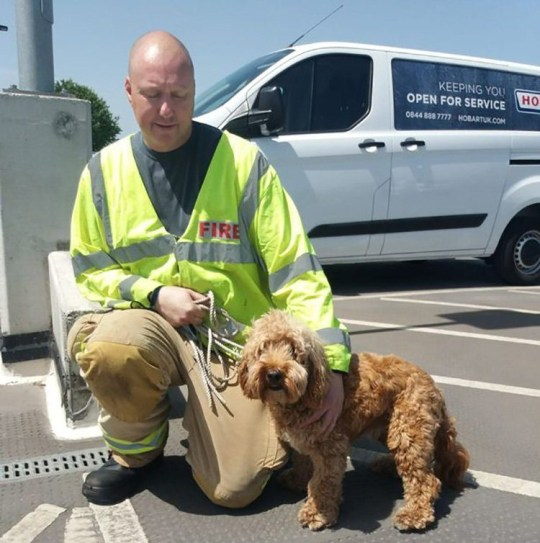 Firefighters were called to rescue a dog from a boiling car after supermarket staff couldn't find the owner. Bertie, a cockapoo, had been left in a car in direct sunlight on the roof level of the multistory car park in Saffron Walden at midday yesterday (June 28). While Bertie was trapped in car, his owner was shopping in the Waitrose supermarket in Hill Street. Pictured: Bertie with his rescuer from Essex Fire and Rescue