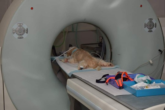 Barney having a CT scan