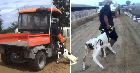 Workers filmed hitting and suffocating newborn calves to death at dairy farm