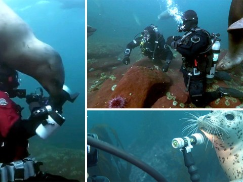 Seals prove why they're the dogs of the sea as they play with divers