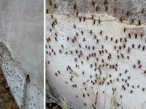 Sardinia suffers worst invasion of locusts for 70 years