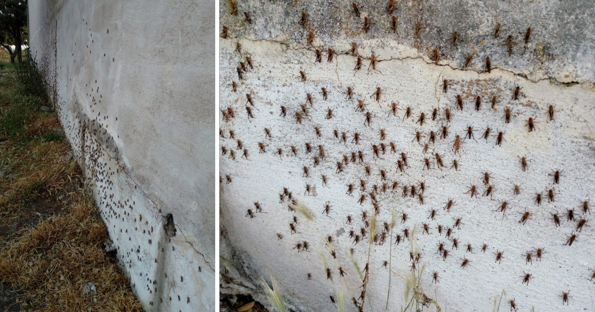 A overflow of locusts have invaded a Italian island of Sardinia, destroying crops and infesting houses