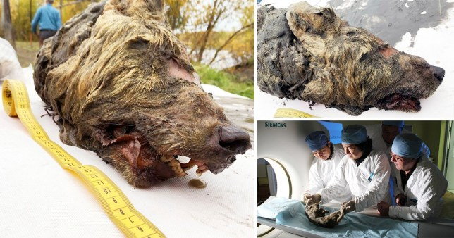 Compilation of a severed 40,000 year old wolf's head which was found preserved in permafrost in Yakutia, Siberia, Russia