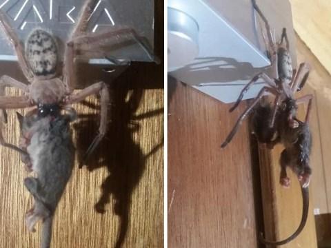 Massive spider is so big it eats an entire possum