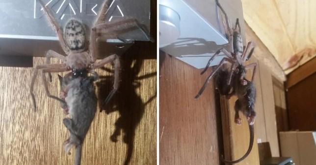 Massive spider is so big it eats an entire possum | Metro News