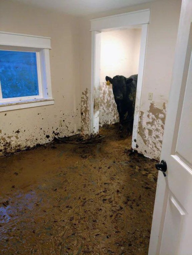 Cows spend month roaming in newly built house and riddle it