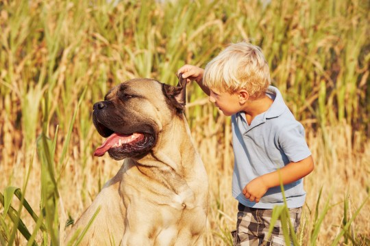 Little boy is playing with his large dog's ear